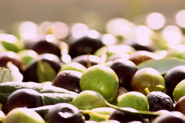 L'oliva Tonda Iblea