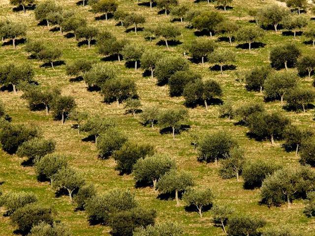 Oliveto nella zona dei Monti Iblei - ph. Giulio Lettica