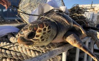 Una tartaruga Caretta caretta salvata da un traghetto di linea