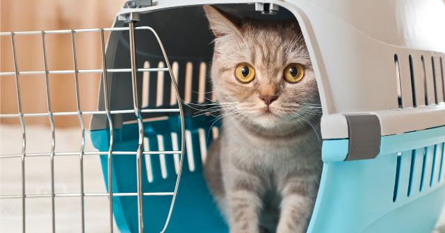 Per mettere in sicurezza i gatti è invece necessario il trasportino...