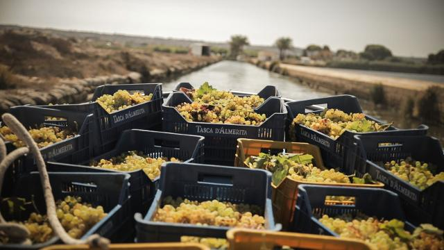 Trasporto dell'uva Grillo della Tenuta Whitaker attraverso lo Stagnone