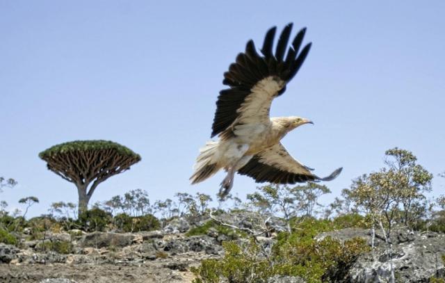 Un avvoltoio egiziano nell'isola di Socotra