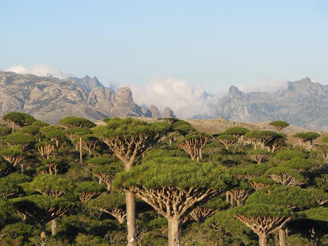 Una foresta di dracena cinnabari a Socotra