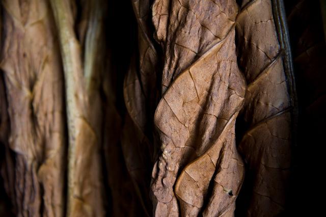 Foglie di tabacco ad essiccare