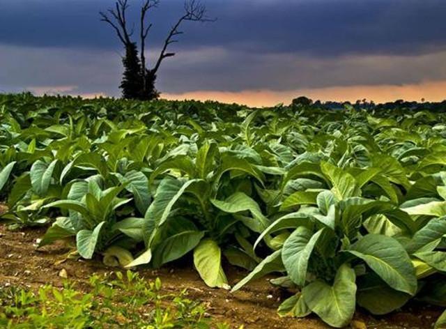 Piantagione di tabacco a Bagheria