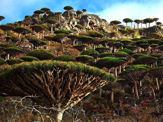 Socotra, foresta di dracene