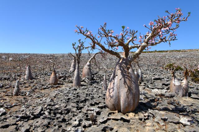 """""""Rose del deserto"""", Socotra"""