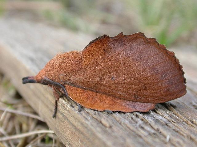 Gastropacha quercifolia - ph dhobern