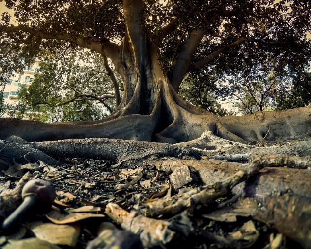 Ficus magnolioides, Villa Trabia - ph di gerlos