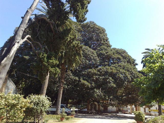 Villa Trabia, Ficus magnolioides - ph MyName (Dedda71)