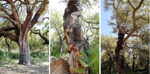 Querce da sughero del bosco di Niscemi - ph Esculapio