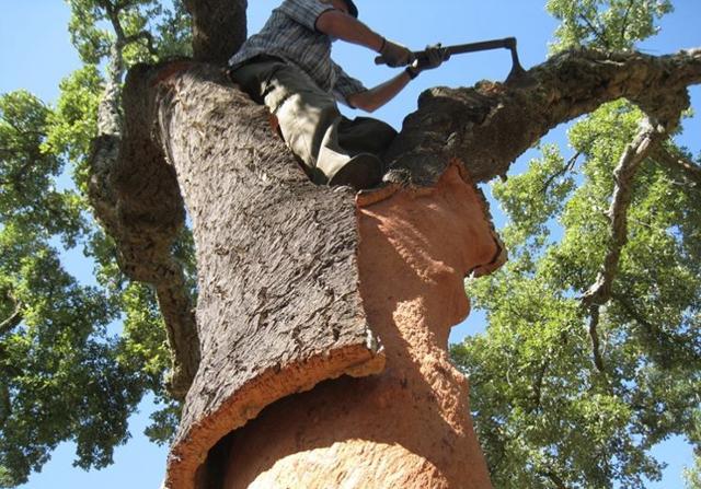 Scortecciamento di una quercia da sughero