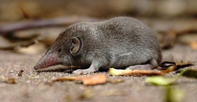 Un esemplare di toporagno siciliano