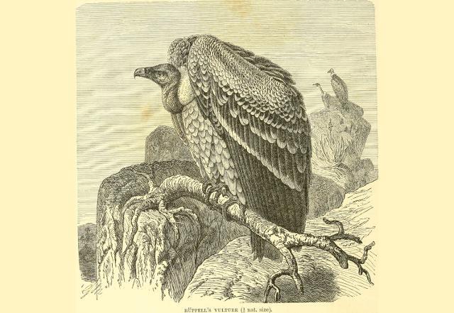 L'avvoltoio di Rüppell (Gyps rueppelli)