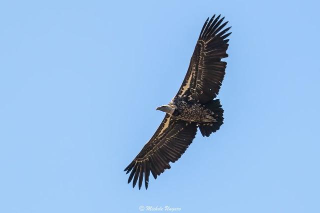 Avvistato un avvoltoio di Rüppell fra i grifoni della colonia del Parco dei Nebrodi