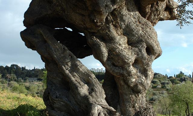 """Il tronco di un """"Patriarca"""" della Valle dei Templi"""