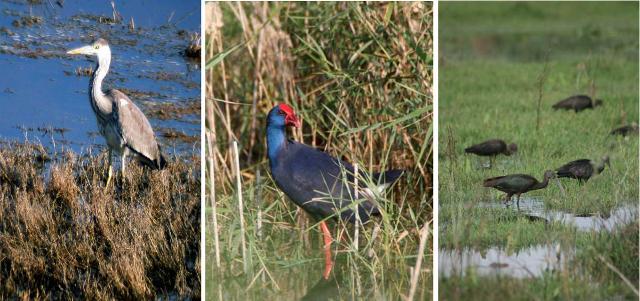 Alcuni esemplari dell'avifauna acquatica della riserva