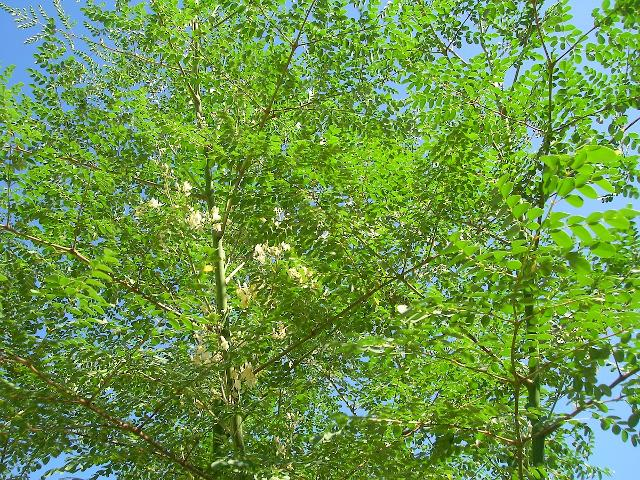 Albero di Moringa oleifera