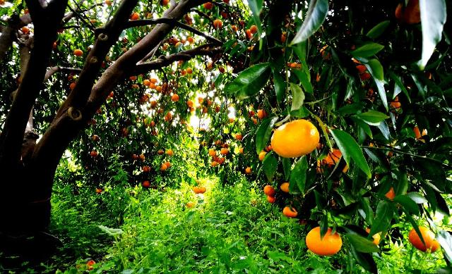 Alberi di mandarini tardivi di Ciaculli