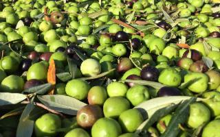 ISMEA lancia la prima serie web dedicata all'olio extravergine d'oliva italiano