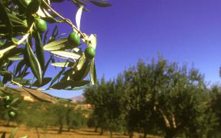 L'Olio di Feudo Disisa, di Monreale, è tra le eccellenze di Flos Olei 2020