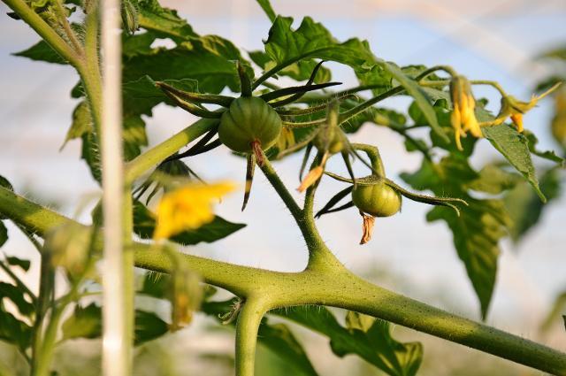 Consorzio pomodoro di Pachino IGP