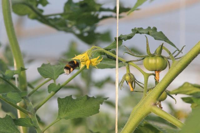 Coltivazione del pomodoro di Pachino IGP