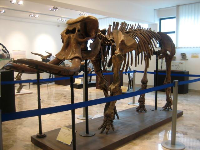 Lo scheletro di un elefante nano nel Museo Gemmellaro di Palermo - ph Kalima