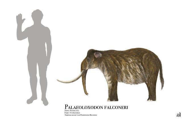 Le dimensioni medie di un Palaeoloxodon falconeri rispetto all'uomo