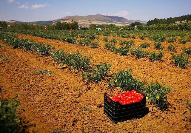 Valledolmo, terreno coltivato a Pomodoro Siccagno