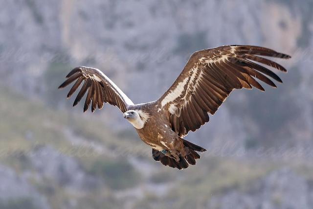 Grifone in volo, Rocche del Crasto - ph Nello Cataudo