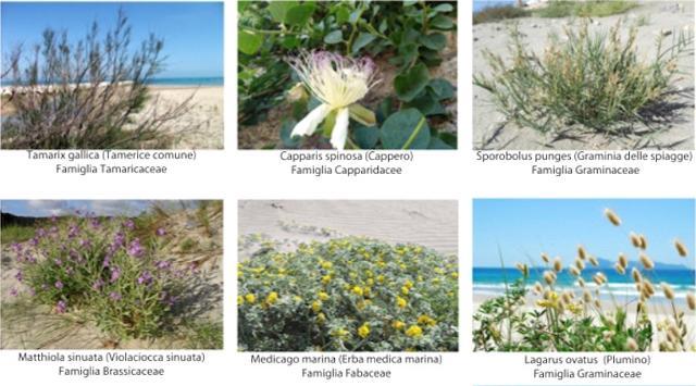 Alcune piante mediterranee tipiche delle nostre spiagge