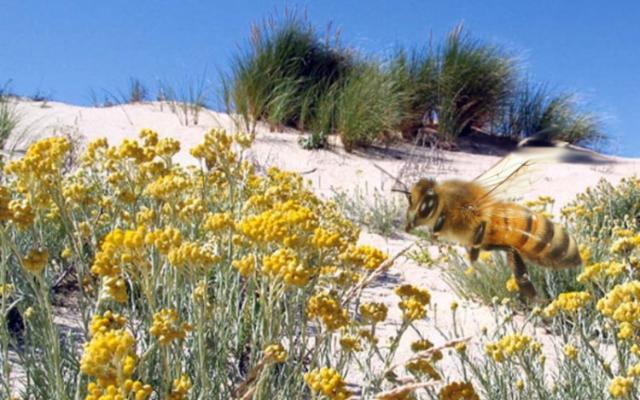 Sì, potremo andare al mare, grazie alle api e alle piante mediterranee