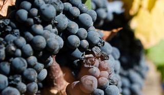 I vitivinicoltori pugliesi contro il ''Primitivo di Sicilia''…