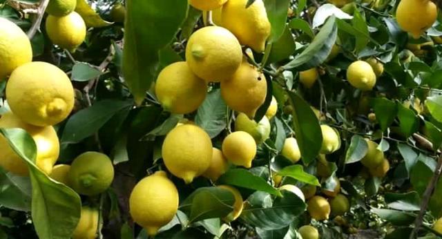 """Limone dell'Etna"""