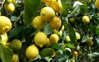 Il ''Limone dell'Etna'' verso l'Igp riconosciuta dall'Unione europea