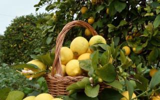 Coca-Cola acquista un terzo della produzione di arance e limoni siciliani