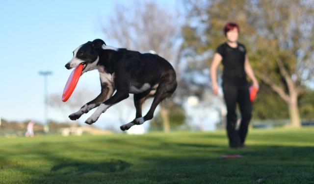 """Il """"disc dog"""" è tra gli sport cinofili più diffusi"""