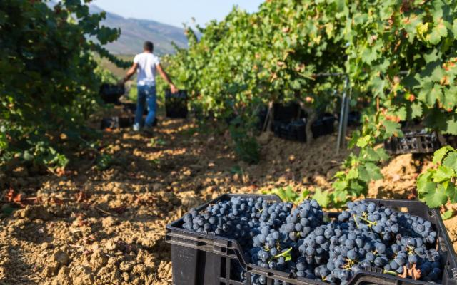 Un'ottima annata per il Consorzio di Tutela Vini Doc Sicilia