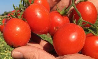 Tutti vogliono il pomodoro Siccagno di Valledolmo