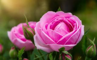 Fiasconaro omaggia la Rosa Damascena