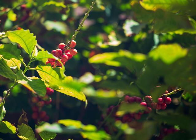 La Sicilia adesso è anche terra di caffè
