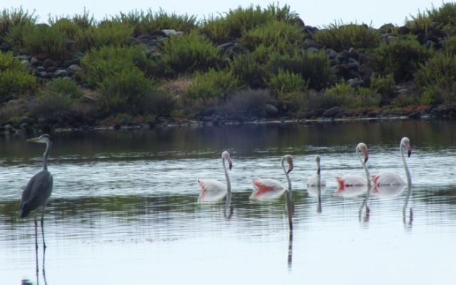 Cinque fenicotteri rosa in ''vacanza'' a Salina…