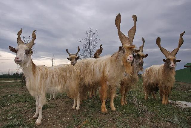 Sapevate che dietro la Capra Girgentana c'è il mito della capra Amaltea?