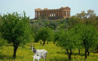 Sapevate che dietro il mito della capra Amaltea c'è la Capra Girgentana?