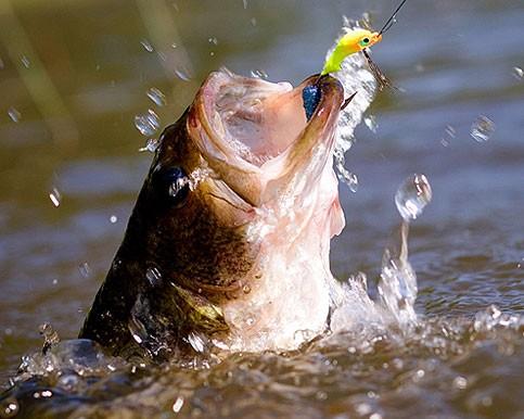 Un Black Bass, uno dei pesci che si possono pescare nel Lago Rosamarina