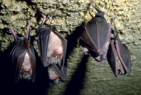 Pipistrelli a riposo
